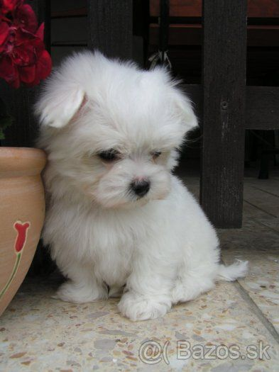 The Maltese Breed, goes 100x over the cute meter! One of the Top 5 Cutest Breeds ever(In my opinion)!