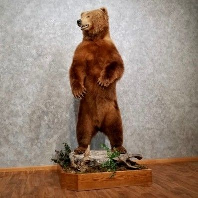 This gorgeous Kodiak Brown Bear taxidermy mount is for sale @thetaxidermystore.com