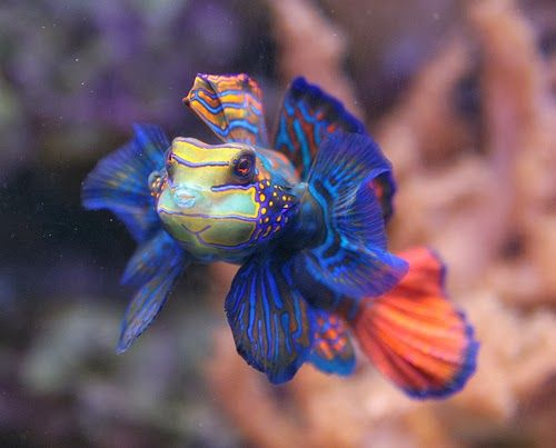 25 Best Ideas About Mandarin Fish On Pinterest