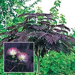 """Summer Chocolate Silk Tree Rare and elegant. Fern-like foliage is a rich burgundy-chocolate color. Pink and white blooms appear in small clusters and provide beautiful contrast to the foliage throughout the summer. Sometimes called a """"sleeping tree,"""" its leaves fold in at night and during heavy rains. Compact enough for containers. Ultimately reaches a height of 20-30'. Ships as 20-24"""" bareroot tree. Albizia julibrissin 'Summer Chocolate' Zones: 6-10 Light: Full Sun to Partial Shade"""