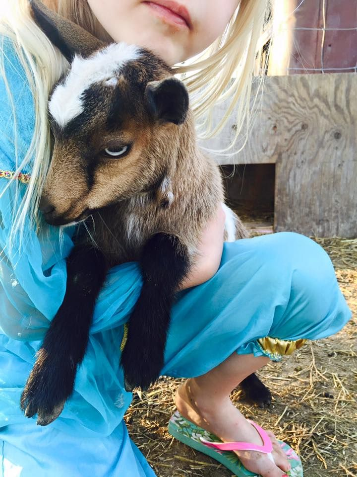 Pygmy goats to have and to hold! (Well maybe not to have!) - come experience Saskatchewan's first Goat Walk at Grotto Gardens, located just outside of Maple Creek, SK.