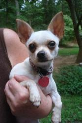 Tiki and Taco is an adoptable Chihuahua Dog in Reston, VA. Tiki and Taco are two Chihuahuas that are a bonded pair. Tiki is a short haired Chihuahua and Taco is a long haired Chichuahua who are destin...