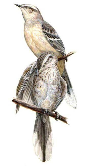 Chalk-browed Mockingbird - Mimus saturninus