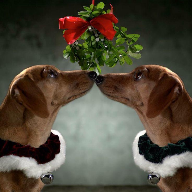 Image result for pets under mistletoe