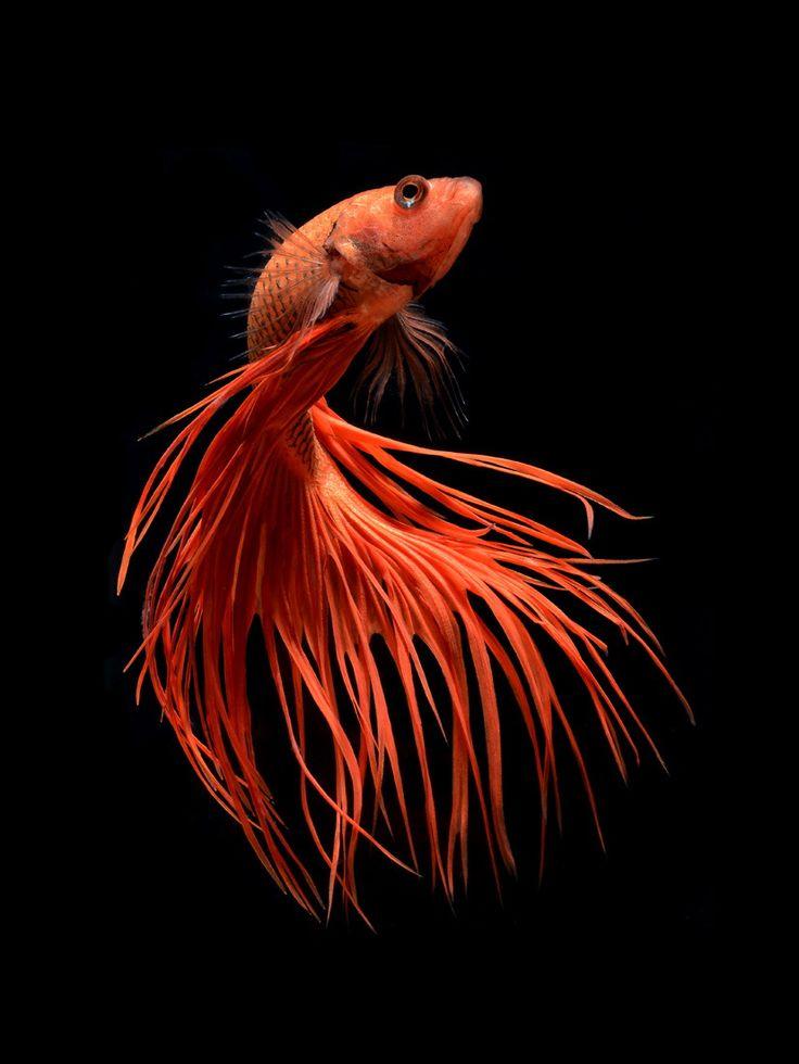 Orange crowntail betta fish by visarute angkatavanich