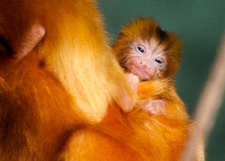 Golden lion tamarin babyGolden Lion Tamarin Babies