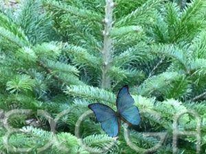 Deutschland - Unser Weihnachtsbaum ... Nordmanntanne (Abies nordmanniana) --- Samen Saautgut