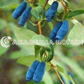 Nyhet! Lonicera caerulea var. kamtjatica 'Woloszebnica' Växt: Höjd: 1,6 m. Upprätt växtsätt. Mycket vinterhärdig. Samplantera med andra sorter för bästa skörd.   Bär: Djublåa, stora (2 cm), cylindriska med en vaxyta. Söt-syrlig smak.