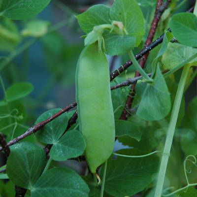 Expand your veggie horizons ... container gardens grow great peas.