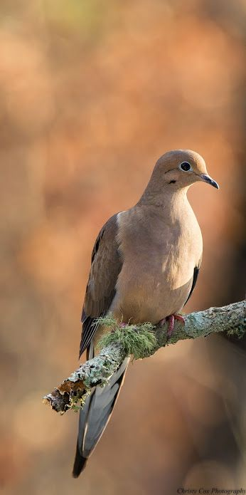 Mourning Dove; so common that we see them all day long.  Their song is easy to remember.  Aunt Colleen and I used to use it with each other when we were children.