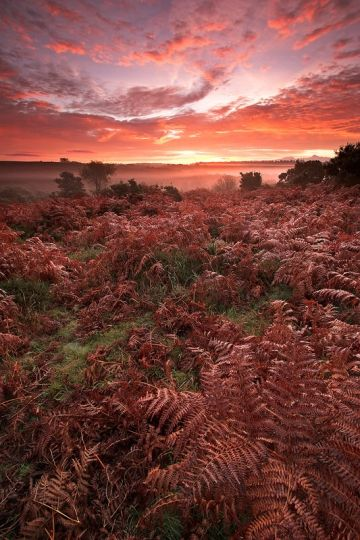 Spectacular sunrise in the New Forest National Park. It was photographed on the bracken covered heathland, close to the village of Burley on a misty autumn morning.