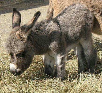 1 day old donkey. So adorable.
