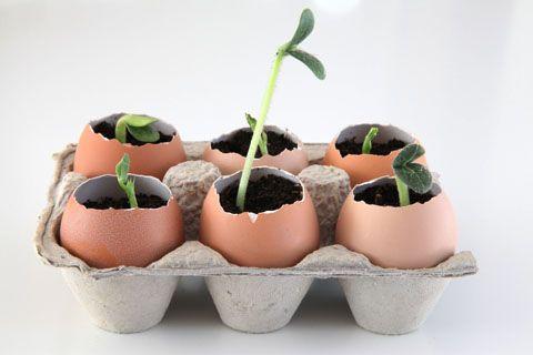 sadzenie nasion do skorupek - uzyskanie sadzonek