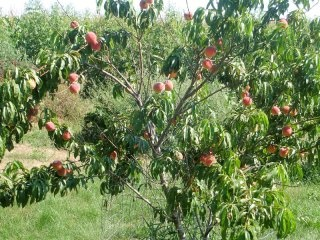 The 25 best Peach trees ideas on Pinterest Bush garden florida