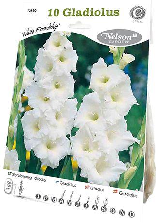 Gladiol, Storblom. White Friendship, vit