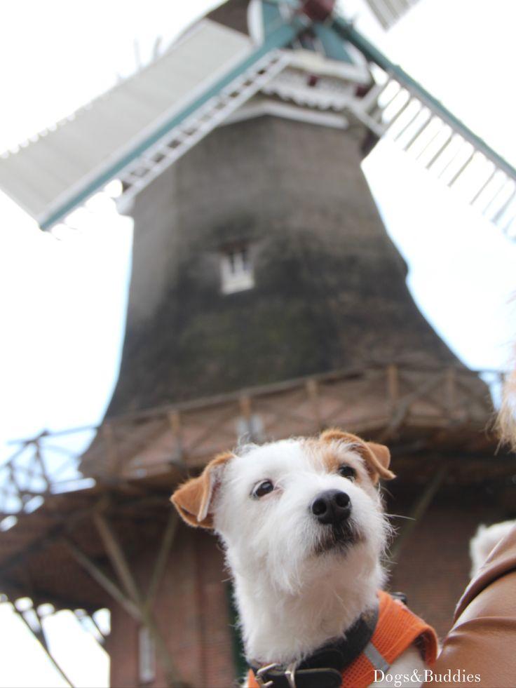 Beautiful Tagesausflug mit Mickey Tag der Windm hle M hle Parson Russell Terrier Oldenburg