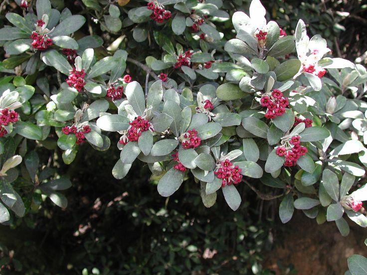 Pittosporum crassifolium, commonly called Karo, is a small tree or shrub native to New Zealand.