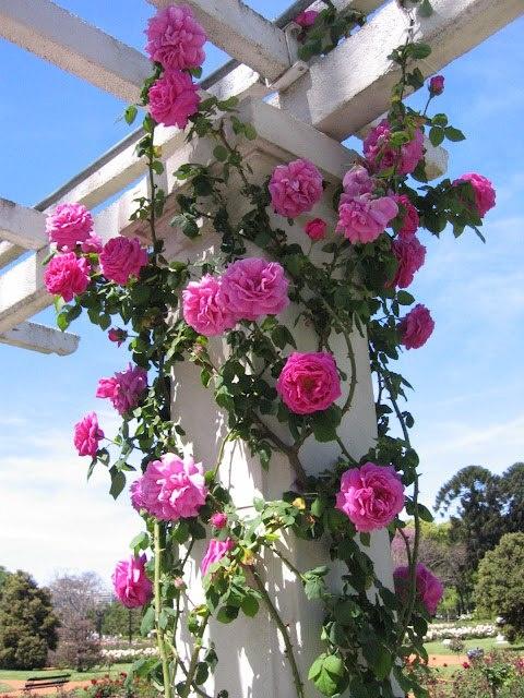 Roseira trepadeira