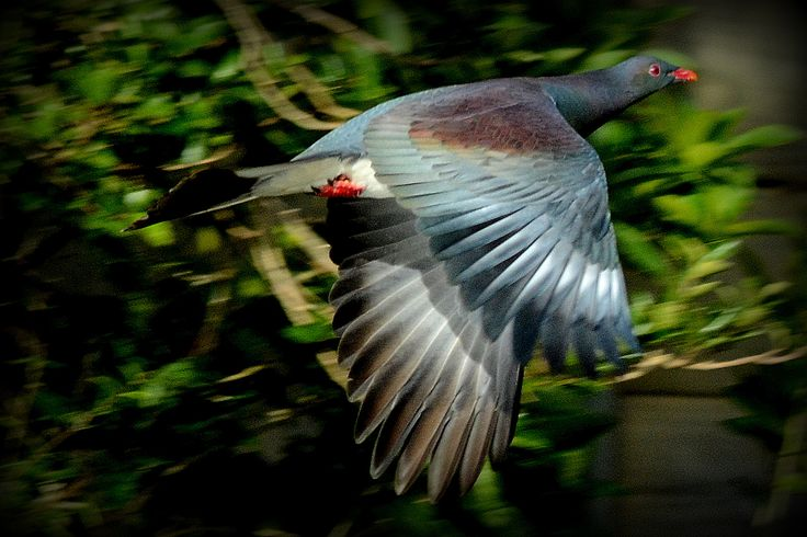 Kereru in flight taken at a recent retreat