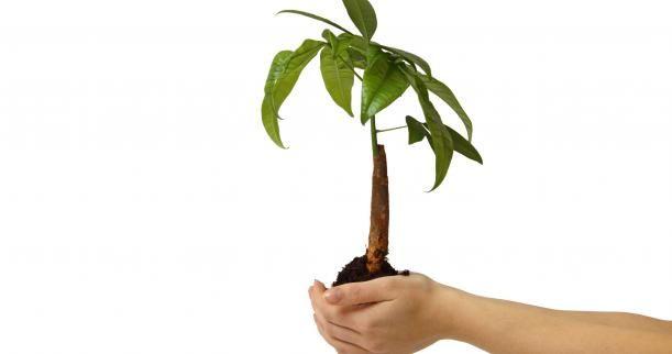 How to Care for a Money Tree Plant - Ask.com