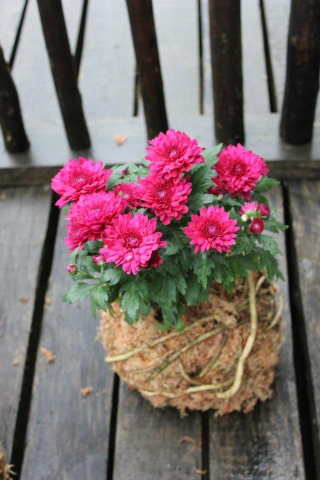 Kokedama Crisantemo