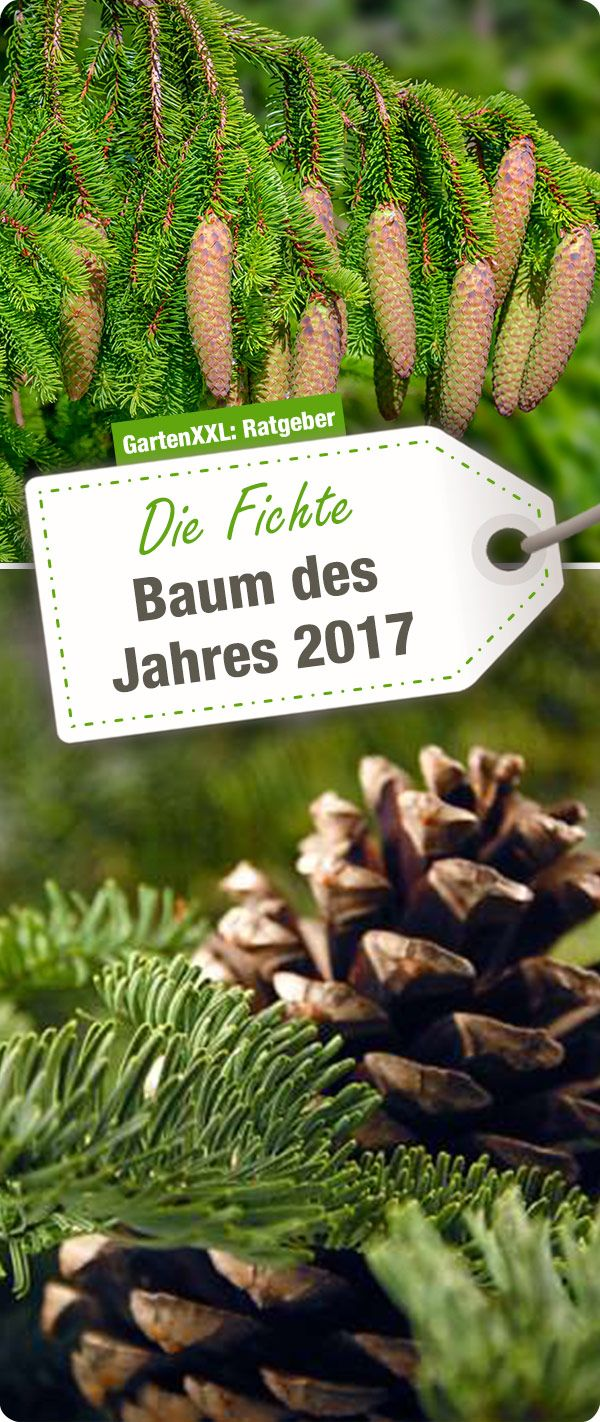 Jeder kennt sie, ob als Weihnachtsbaum in der Wohnung oder geschmückt im Garten, die Fichte (Picea abies) mit ihrem grünen Nadelkleid bringt Leben und einen immergrünen Farbtupfer in die Landschaft. Mehr zum baum des Jahres 2017 gibt es im GartenXXL Ratgeber!