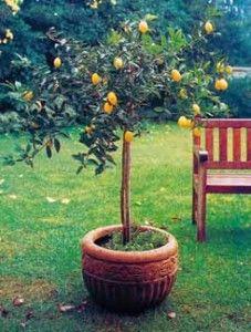 cuidado limoneros maceta 227x300  Todo sobre limoneros: cómo y dónde plantarlos. Cuidados específicos riego frutales arboles