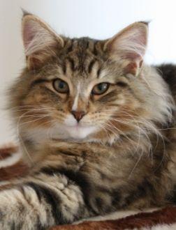Chatterie de l'Eperon - elevage de chat norvegien en Drôme - proche de Montelimar - France - norwegian forest cats breeding in France
