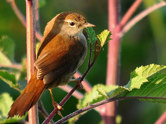 Rossinyol bord - Cetia ruiseñor - Cettia cetti - Bouscarle de Cetti - Cetti's Warbler