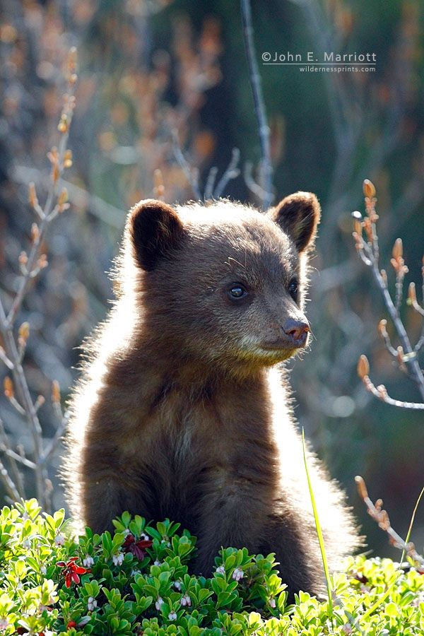 ~~Tiny black bear cub in Jasper National Park, Alberta, Canada by John E. Marriott~~