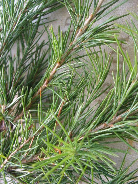 Cedrus Deodara Deodar Cedar 10 seeds