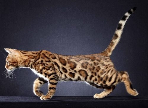 Bengal cats houston texas