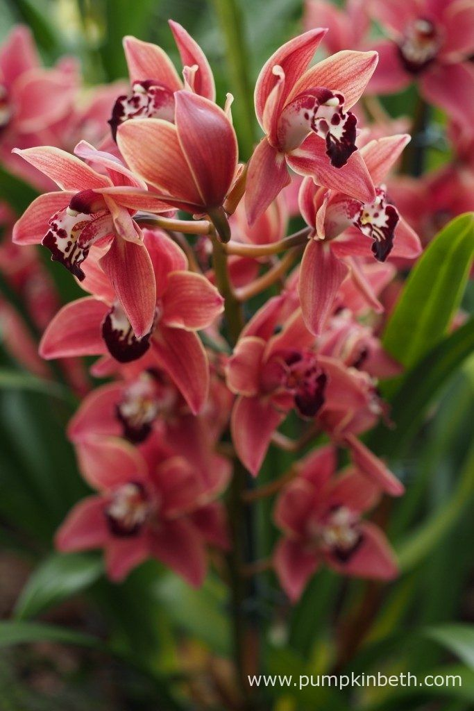 A beautiful Cymbidium orchid, pictured during the 2017 Orchid Extravaganza at the Royal Botanic Gardens, Kew./ Kew Orchid Extravaganza 2017 - Pumpkin Beth