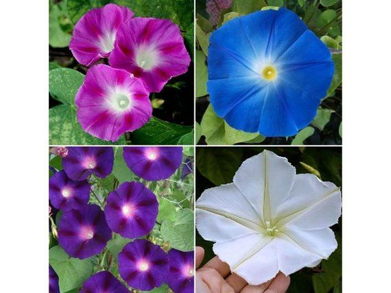 Day Night Blooming Morning Glory Seed Mix Rare W Moonflower Vine St23 Flower Seeds Morning Glory Flowers Moon Flower