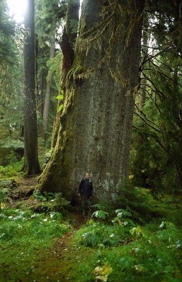 Dwarfed by a giant cedar in Haida Gwaii, British Columbia