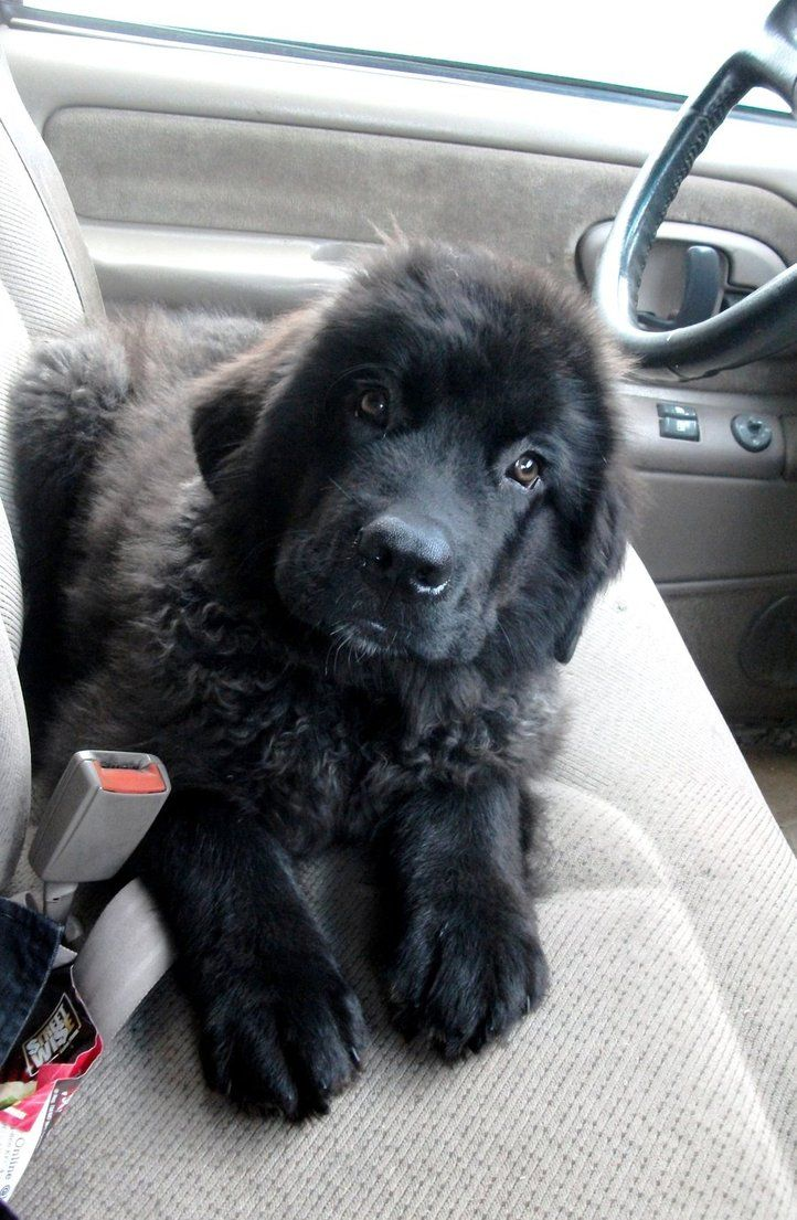 newfoundland pup If I ever got a male it would be Bear and a girl Ellie
