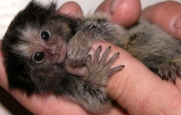 Pigmeul saguin (marmoset)  cea mai mica maimutica din lume!