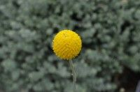Pycnosorus globosus - billy buttons has spectacular globe flowers, strong stems good for cut flowers