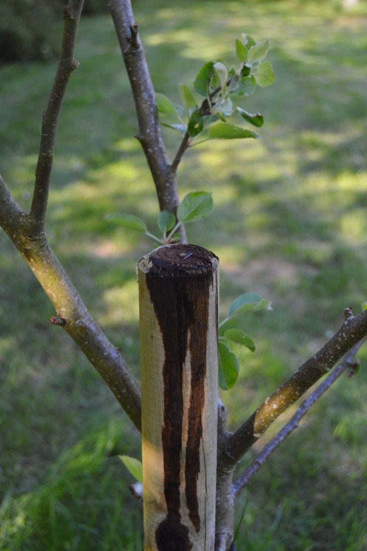 Rådyr i frugttræer - et middel der virker.