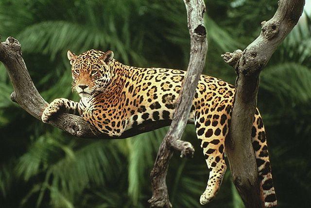 El Yaguaret 233 Es Una De Las Diez Especies De Felinos Silvestres Que Habitan En La Argentina Y Una