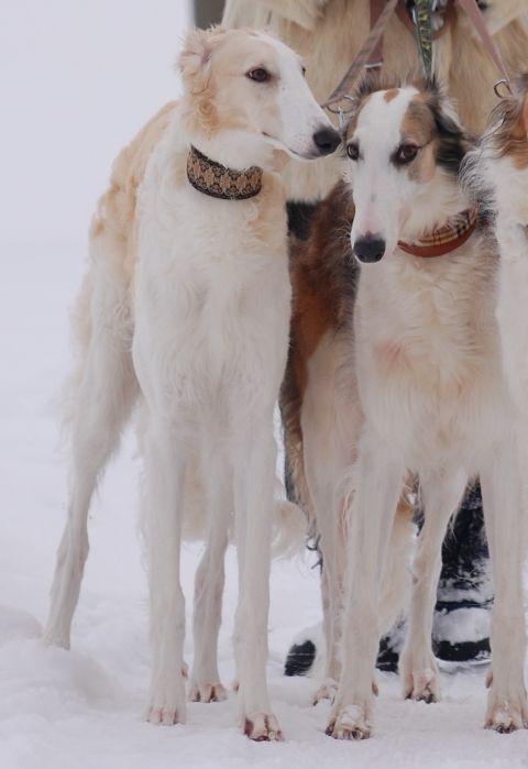 Ischyma Fantasy - Barsois - Russische Windhunde