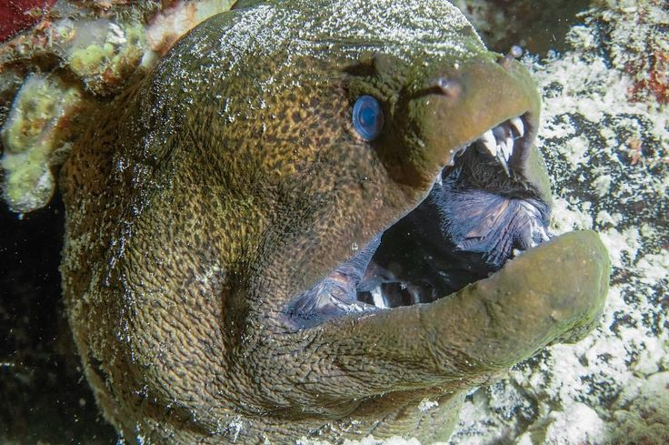 Moray eel is one of sea animals that is easy to photograph. But you need to be very careful. Their strong bite mechanism can do severe damage on your equipment or.... fingers. #Banda famous spot Batu Kapal is one of the places where you can meet numerous species of moray eels