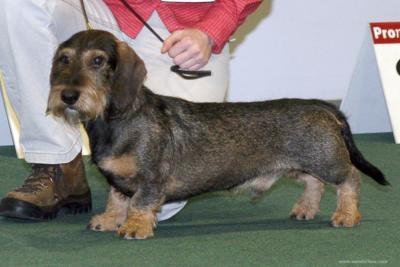 Wirehaired Dachshund: Dachshund Wirehaired, Stuff, Doxie, Dachshund Pets, Dog Breeds