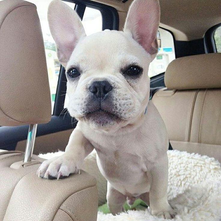 """""""That's how I roll"""", Henry, the French Bulldog,  @henrydoingthings…"""
