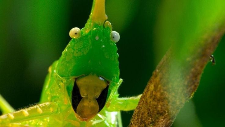 this cone head cricket from bbc's planet earth