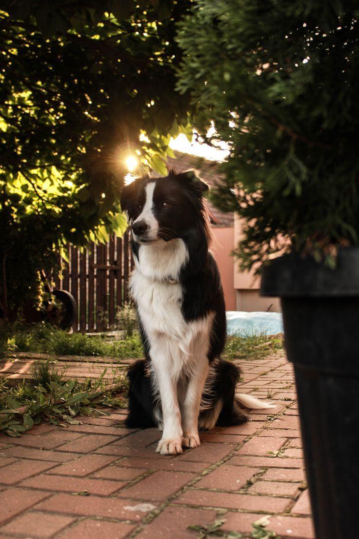 Sunset Or Sunrise Border Collis Border Collis Sunrise Sunset Border Collie Dog Dogs Border Collie
