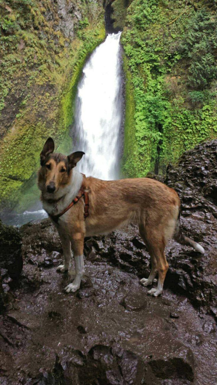 www.cheramorecollies.com sable smooth collie, Wahclella falls trail, Oregon