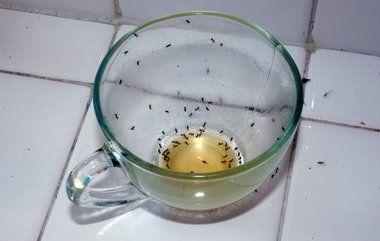 Hvordan slipper du for myrer i huset?