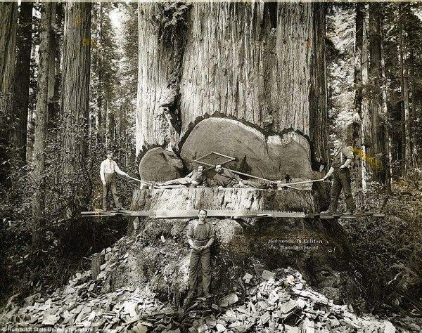 Όταν  απογοητεύτηκαν από το κυνήγι χρυσού, στράφηκαν στα γιγαντιαία δέντρα του Redwood.