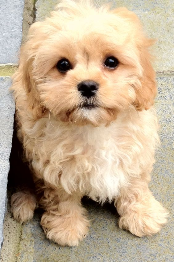 Cavapoo Puppy: look at his face